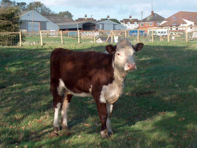 hadleigh farm rare breeds centre G