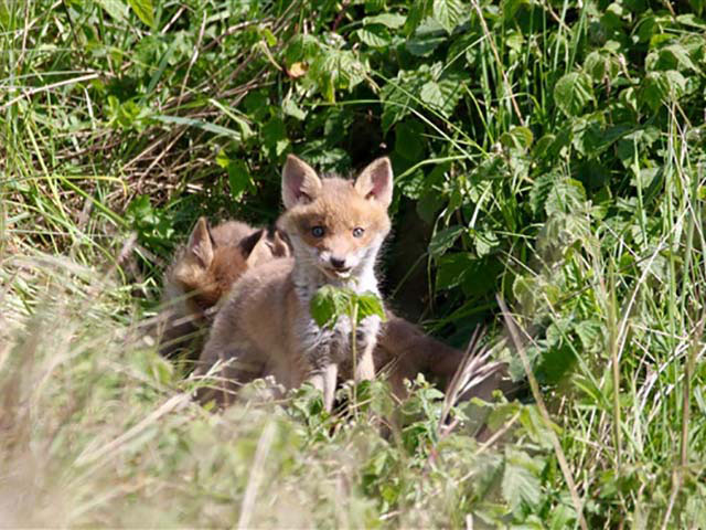 rainham marshes fox cub D